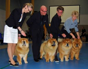 Chow Chow Kennel Piuk Chow opdrætsklasse