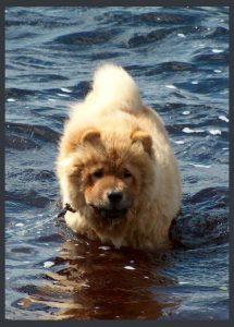 Chow Chow i sø