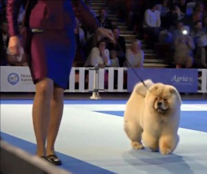 Chow Chow Orinell´s On And On EDS 2015