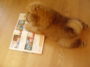 Chow Chow læser blad