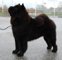 sort chow chow Piuk chow possesses black passion