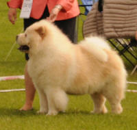 creme chow chow veteran Rossy Cream Colombo