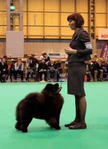 Chow Chow Orinells Never Say Never Crufts 16