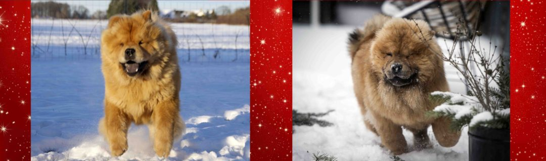 Chow Chow hvalpe sne leg vinter