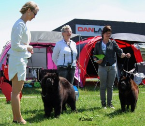 Chow Chow Piuk Chow Possesses Black Passion og Grazioso's One Wilma Zu'tzungle i Ejby