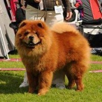 Chow Chow Batton Fon Fragoky