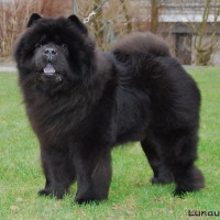 Sort Chow Chow Bidachows Amazing Armani