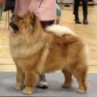 rød chow chow Bidachows O'lovely Othella