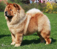 rød chow chow Bidachows olovely othella