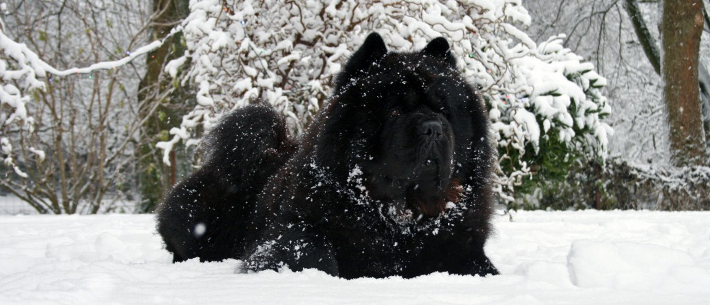 Chow Chow i sne