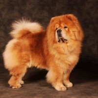 Rød Chow Chow veteran Cracker