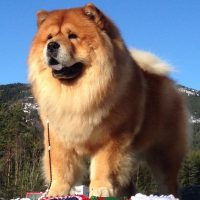 Chow Chow Piuk Chow Plenty Of Summer Success