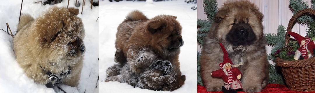 Chow Chow hvalpe i sne og til jul