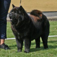 korthåret sort chow chow, Grazioso's One Wilma Zu'tzungle