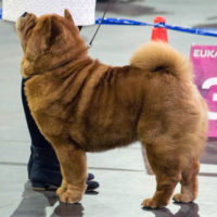 Chow Chow Nørskovs Just the one