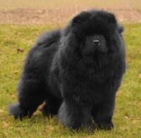 sort chow chow Orinell's Here She Comes