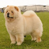 Creme chow chow Orinell's Live Your Dream