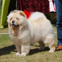 chow chow klubmester 2014 Orinell's Live Your Dream
