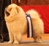 Creme Chow chow Orinells its a knockout
