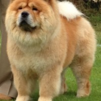 Rød chow chow Piuk Chow Plenty Of Summer Success