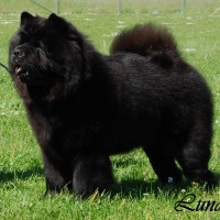 Chow Chow Klubvinder 2015 Piuk Chow Possesses Black Passion