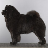 Chow Chow Piuk Chow Possesses Black Passion, Stine Hjelme