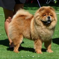 Chow Chow Piuk Chow Sweet Queen Of Phantasy , Susanne Lunau