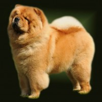 Chow Chow Stagebos Angel Of The Morning, Susanne Danielsen