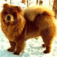 chow chow 1983 fruerlunds-countess-eliza