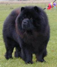 Langhåret sort chow chow