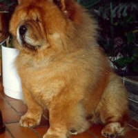 chow chow klubmester 1988 wingwood-golden-surprize