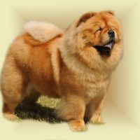 Chow Chow tagebos_Angel_Of_The_Morning