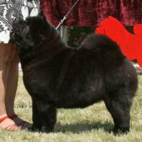 Chow Chow Graziosos_One_Wilma_Zutzungle