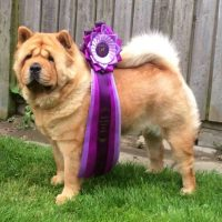 Chow Chow Bidachows Gift From USA Smooth Giny