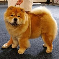 Chow Chow Piuk Chow Sweet Magic Of Phantasy
