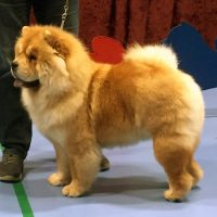 chow chow Purpl Sheides Vogue La Champ