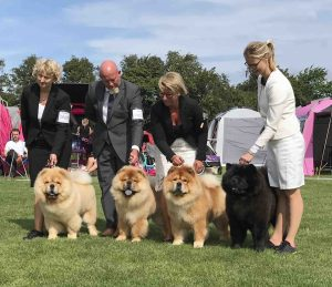 Chow Chow opdrætsklasse Kennel Piuk Chow
