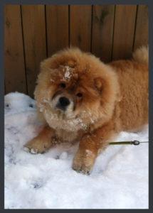 Chow Chow hvalp sne