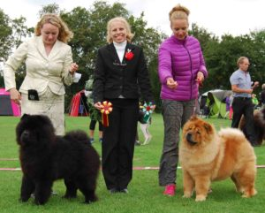 Chow Chow Bidachows Amazing Armani og Bidachows O'Lovely Othello Susanne Dammann