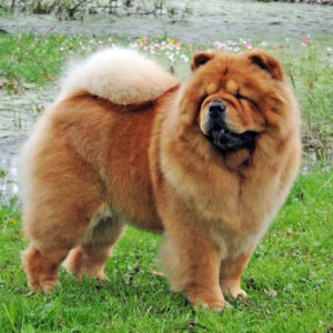 Chow Chow Stagebo's Angel Of The Morning