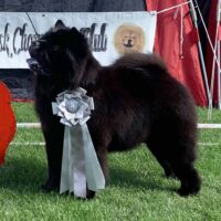 Chow Chow Piuk Chow Possesses Black Passion Klubveteranchampion