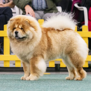 Chow Chow Notorious Star Brian Adams