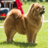 Chow Chow Piuk Chow Sweet Queen Of Phantasy