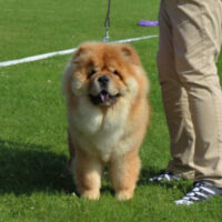 Chow Chow Ilaka Falcon The Chinese Fellow