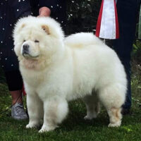 Chow Chow Piuk Chow Charming Cream Knight Of Paloma